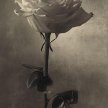 rose_1a