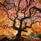 Maple_tree_seattle