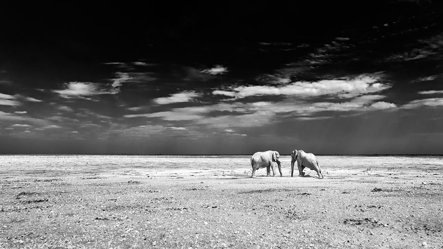 African wildlife photography two african elephants drinking at a waterhole black and white fine art photography in africa landscape photography in etosha
