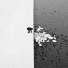 4 - A Man Feeding Swans in the Snow