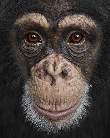 Brad Wilson Chimpanzee4