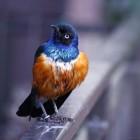 Royal Blue....... al fritz